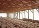 Pabellones engorda pollos Broiler
